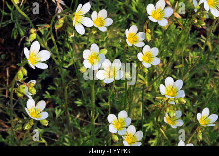 Rose Saxifrage (Saxifraga rosacea), flowering, Germany - Stock Photo