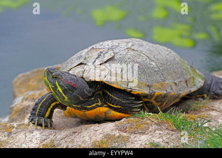 red-eared turtle, red-eared slider (Pseudemys scripta elegans, Trachemys scripta elegans, Chrysemys scripta elegans), - Stock Photo