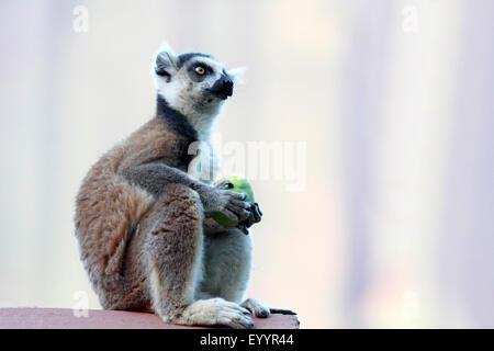 ring-tailed lemur (Lemur catta), feeding a fruit, Madagascar, Andringitra National Park - Stock Photo