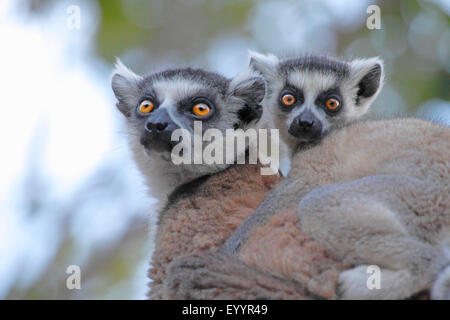 ring-tailed lemur (Lemur catta), mother and pup, Madagascar, Andringitra National Park - Stock Photo