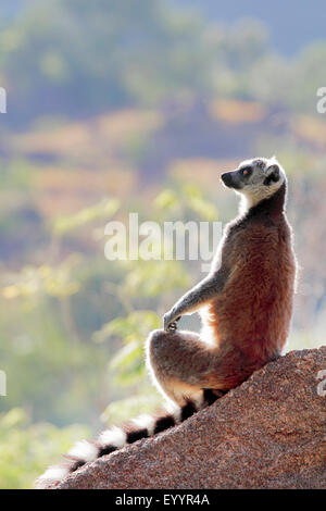 ring-tailed lemur (Lemur catta), sitting on a rock staring into the distance, Madagascar, Andringitra National Park - Stock Photo
