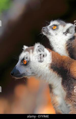 ring-tailed lemur (Lemur catta), mother and pup, Madagascar, Andringitra National Park - Stock Photo