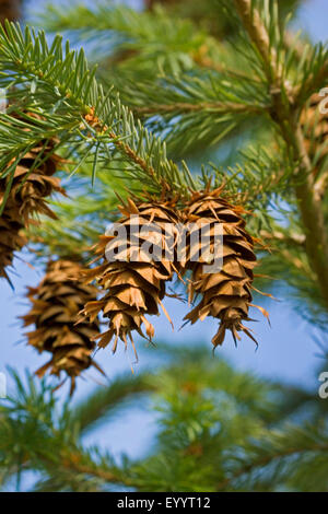 Douglas fir (Pseudotsuga menziesii), branch with cones, Germany - Stock Photo