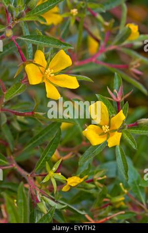 Perennial water primrose, Uruguay waterprimrose (Ludwigia grandiflora, Ludwigia uruguayensis, Jussiaea grandiflora), - Stock Photo