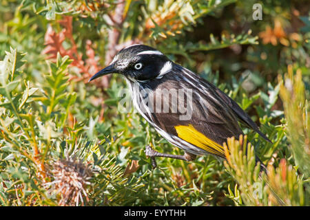 yellow-winged honeyeater (Phylidonyris novaehollandiae), on a Banksia , Australia, Western Australia, Cape le Grand - Stock Photo