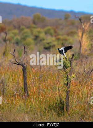 Black-backed magpie, Australian Magpie (Gymnorhina tibicen, Cracticus tibicen), lands on a small tree, Australia, - Stock Photo