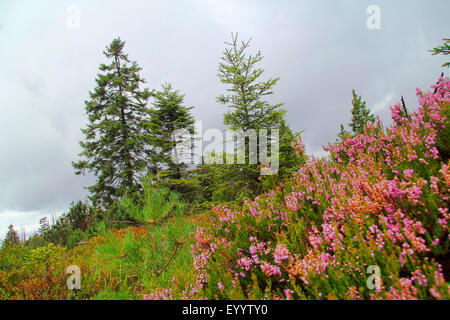 conifer forest and heather in 1000 m height, Germany, Baden-Wuerttemberg, Black Forest National Park - Stock Photo