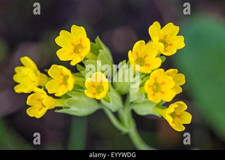 cowslip primrose (Primula veris), inflorescence, Germany, Bavaria - Stock Photo