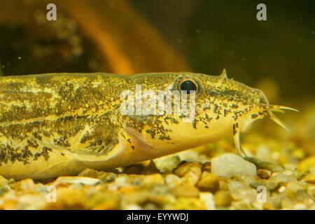 stone loach (Noemacheilus barbulatus, Barbatula barbatula, Nemacheilus barbatulus), portrait - Stock Photo