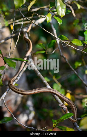 Madagascar's grass snake (Mimophis mahfalensis), creeps on a branch in a tree, Madagascar, Nosy Be, Naturreservat - Stock Photo