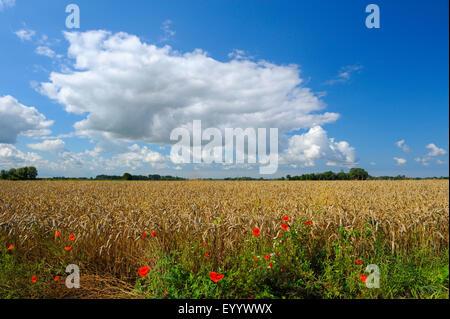 ripe wheat field in summer, Germany, Lower Saxony, Otterndorf - Stock Photo
