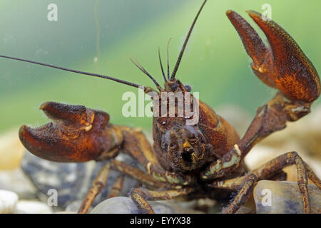 signal crayfish (Pacifastacus leniusculus), threatening posture of the male, portrait, Germany, Bavaria - Stock Photo