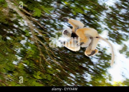 diadem sifaka, diademed sifaka (Propithecus diadema), jumping from tree to tree, Madagascar, Analamazaotra National - Stock Photo