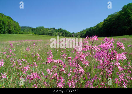Meadow campion, Ragged-robin (Lychnis flos-cuculi, Silene flos-cuculi), meadow overgrown with ragged-robin surrounded - Stock Photo
