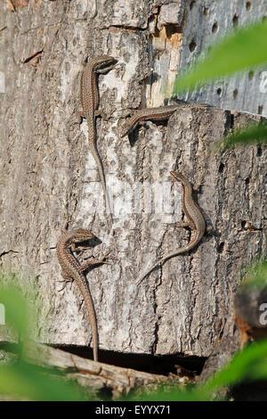 viviparous lizard, European common lizard (Lacerta vivipara, Zootoca vivipara), four animals sitting on a trunk to catch some sun, Germany