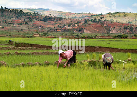 common rice (Oryza sativa), women are working in the paddy field , Madagascar, Fianarantsoa - Stock Photo