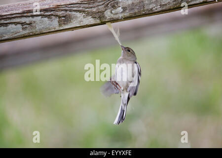 chaffinch (Fringilla coelebs), female catching a spider cocoon for building a nest, Germany, Straubing - Stock Photo