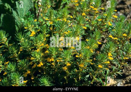 ground-pine, yellow bugle (Ajuga chamaepitys), blooming, Germany - Stock Photo