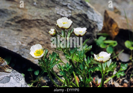 glacier crowfoot (Ranunculus glacialis), blooming, Germany - Stock Photo
