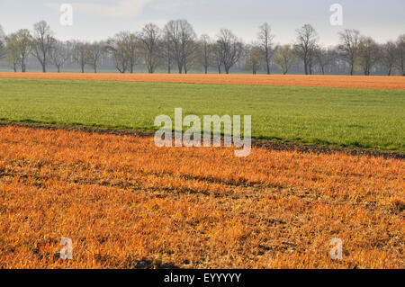 fields treated with herbicides in spring, Germany, North Rhine-Westphalia - Stock Photo