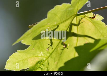 green anole (Anolis carolinensis), shaddow on a loeaf in backlight, USA, Florida - Stock Photo