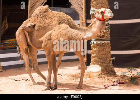 one-humped dromedary (Camelus dromedarius) with young. Wadi Rum Jordan Middle east - Stock Photo
