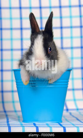 Netherland Dwarf (Oryctolagus cuniculus f. domestica), black and white dwarf rabbit baby in a little blue bucket - Stock Photo