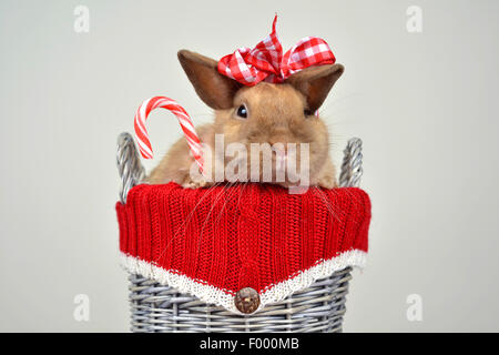 Netherland Dwarf (Oryctolagus cuniculus f. domestica), rabbit with stick of rock in a little basket - Stock Photo
