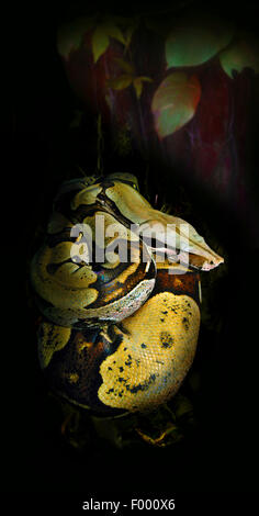 Red-tailed Boa (Boa constrictor), rolled-up - Stock Photo