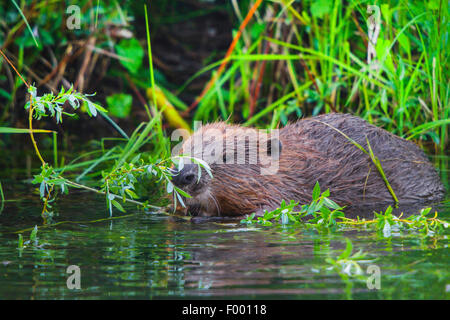 Eurasian beaver, European beaver (Castor fiber), feeds fresh willow twigs while standing in water, Switzerland, - Stock Photo