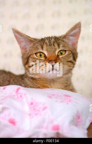 domestic cat, house cat (Felis silvestris f. catus), striped cat behind a pillow, portrait - Stock Photo