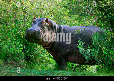 hippopotamus, hippo, Common hippopotamus (Hippopotamus amphibius), in thicket, Africa - Stock Photo