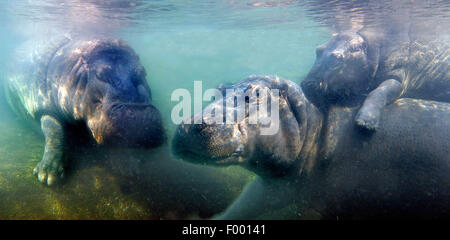 hippopotamus, hippo, Common hippopotamus (Hippopotamus amphibius), Hippos under water, Africa - Stock Photo