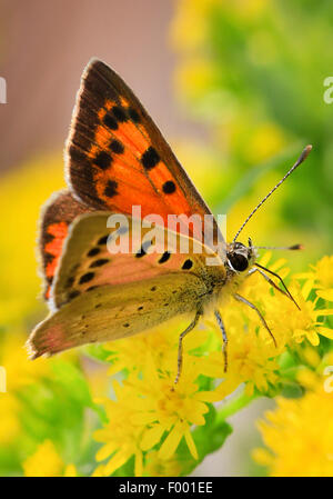 small copper (Lycaena phlaeas, Chrysophanus phlaeas), sucking nectar on yellow blossoms, Germany - Stock Photo