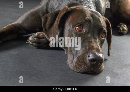 Labrador Retriever (Canis lupus f. familiaris), black-haired Labrador Retriever lyingon the floor, portrait - Stock Photo