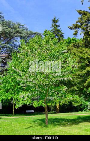 pocket-handkerchief tree (Davidia involucrata), blooming tree in the Stadtgarten, Germany, Bremen - Stock Photo