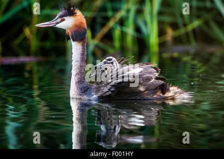 great crested grebe (Podiceps cristatus), swims with two chicks on its back, Switzerland, Lake Constance - Stock Photo
