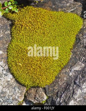 moss cushions in rock crevices, Austria, Tyrol, Lechtaler Alpen - Stock Photo
