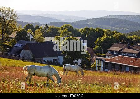 domestic horse (Equus przewalskii f. caballus), lookout over the landscape with two grazing horses near Wildewiese, - Stock Photo