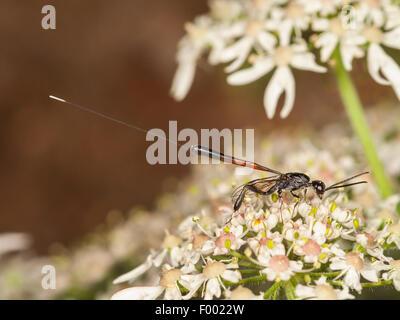 Gasteruptiid wasp (Gasteruption jaculator), female foraging on Common Hogweed (Heracleum sphondylium), Germany - Stock Photo