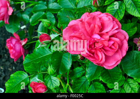 ornamental rose rosa 39 rosarium uetersen 39 rosa rosarium. Black Bedroom Furniture Sets. Home Design Ideas