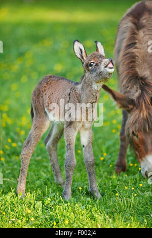 Domestic donkey (Equus asinus asinus), mother with her 8 hour old juvenile, Germany - Stock Photo