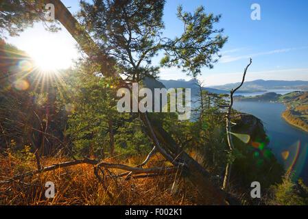 Scotch pine, Scots pine (Pinus sylvestris), trees growing on a mountain near lake Mondsee in autumn, Austria, Upper - Stock Photo