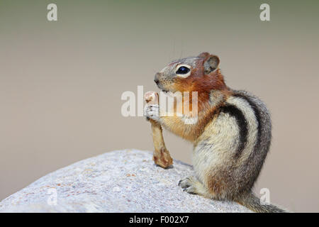 golden-mantled ground squirrel (Spermophilus lateralis, Citellus lateralis, Callospermophilus lateralis), sits on - Stock Photo