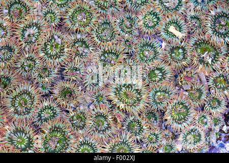 giant green anemone, great green anemone (Anthopleura xanthogrammica), group of anemones in shallow water, Canada, - Stock Photo
