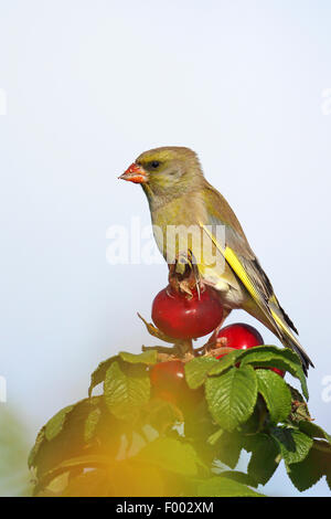 western greenfinch (Carduelis chloris), male sittng on the rosehip of a Japanese rose, Netherlands, Frisia - Stock Photo