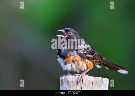 Spotted towhee (Pipilo maculatus), male sitting on a post and singing, Canada, Vancouver Island - Stock Photo