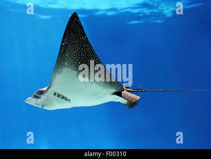 spotted eagle ray (Aetobatus narinari), swimming, Ecuador, Galapagos Islands - Stock Photo
