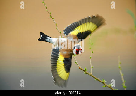 Eurasian goldfinch (Carduelis carduelis), in flight, Austria - Stock Photo