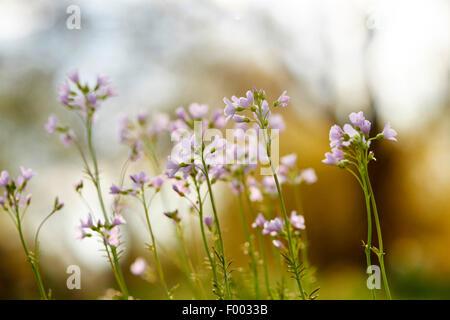 Bog Pink, Cuckoo Flower, Lady's Smock, Milkmaids (Cardamine pratensis), blooming, Germany, Bavaria - Stock Photo